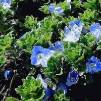 雪の消え間に春一番に咲く青い花
