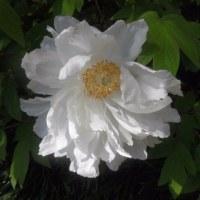鶴岡八幡宮の白フジと牡丹