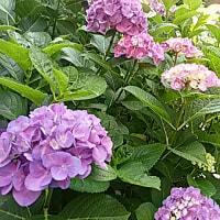 紫陽花のとき