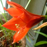 アマリリスが咲いた