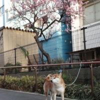 早咲きの桜が咲いてました