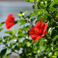 まだまだ元気に咲いているハイビスカス (Photo No.13754)