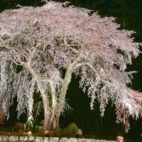 下呂市白川町 水戸野の枝垂れ桜ライトアップ1