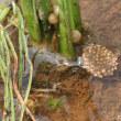 コオイムシ(水生昆虫)