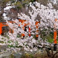 平野神社魁桜の開花もう少し(3/25)