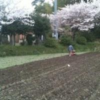 ジャガイモの土かけ中(^-^)  桜の木の下で(*^^*)