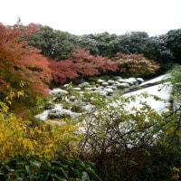 旧古河庭園 紅葉に雪・・2