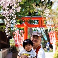 上杉神社のしだれ桜