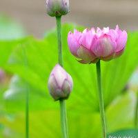 蓮の花咲く季節