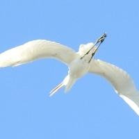 フアーストコンタクトあれほどの白く輝く大きな鳥が私の傍にしばらくおりました💛
