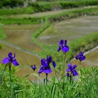 新緑の長谷の棚田