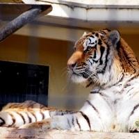 虎!!by にゃぁ~にゃぁ~の日