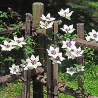 竹垣の鉄線