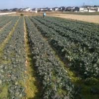 ブロッコリー収穫中(^-^) 寒い( ; _ ; )/~~~