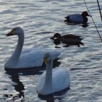 旅立ちが近い白鳥たち