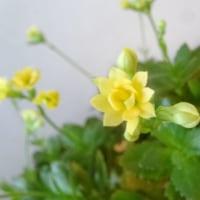 「カランコエ」が今年我が家の初開花