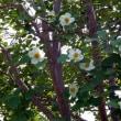 昭和記念公園 花便り アジサイとナツツバキ 6月24日