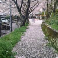 サクラ花が、雨の中散って行く。