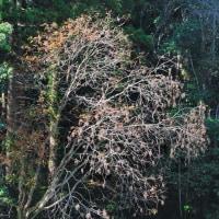 田んぼの脇に大きなハゼノキがありました。 (Photo No.13857)