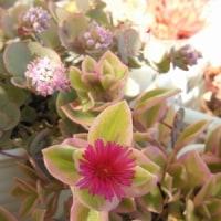 1年越しで咲いたミセバヤの花