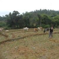 【牛と遊ぶ天女たち】