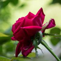 今年も咲きました、紅いバラ・クリスチャンディオール