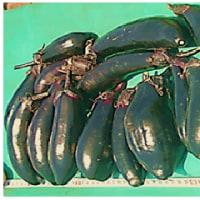 """茄子 """" の  初物 収穫"""