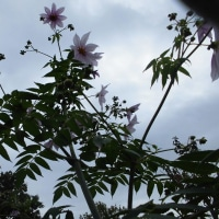 秋の終わりを告げる「皇帝ダリア」が咲いてきました
