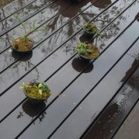 雨の日の盆栽たち