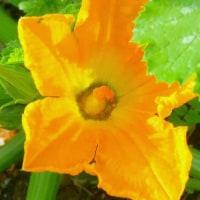 五月の猫ビタイ庭の家庭菜園・・・ズッキーニの花が咲いてる
