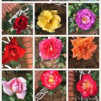 沢山の綺麗なバラたち