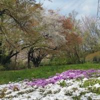 昼は山桜の花見、夜は元ゴルフ好き高齢者宴会