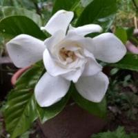 梔子の花が咲いた^^