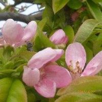 カリンの花