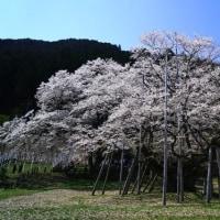 根尾谷の春