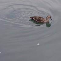 上流へ向かう鴨と流れ下る花びら。