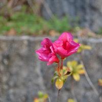また有った季節ハズレのツツジの花 その2