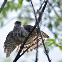今日の野鳥・・・ツミ 【その2】・・・羽根を乾かして?。。