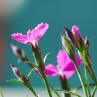 今日のお目覚   ベランダからの花だより
