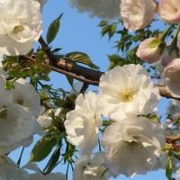 ど根性桜 ~白妙~