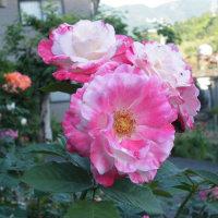 ピンクのクジャクサボテンとピンクのバラ