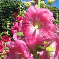 ◆ 春のしんがり 夏のさきがけ タチアオイ