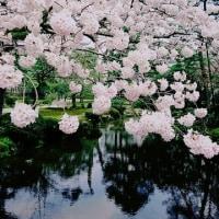金沢市兼六園桜