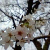 春の陽気に誘われて、千鳥が淵に桜を愛でに行って来た。