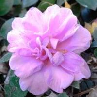 ピンク色の山茶花