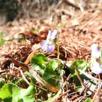 高ボッチ高原・鉢伏山で最近咲いている花 アオイスミレ(葵菫)