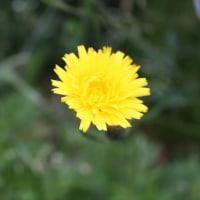 「おはようの花」 ブタナ(豚菜) 6月