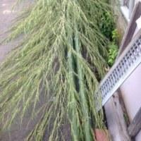 美しい青竹