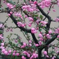 2017  庭の桜  ほぼ満開