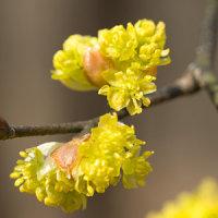 春の妖精、春の儚い命の節分草に会いに千曲市倉科の群生地へ。妻女山のダンコウバイも開花(妻女山里山通信)